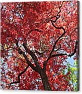 Red Leaves On Tree Acrylic Print