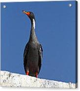 Red Legged Cormorant Acrylic Print
