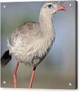 Red-legged Seriema Foraging  Pantanal Acrylic Print