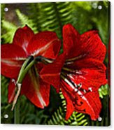 Red Lilies For Spring Acrylic Print