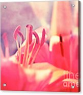 Red Lilies  Acrylic Print
