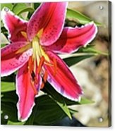 Red Lilly 8095 Acrylic Print