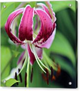 Red Lilly Acrylic Print