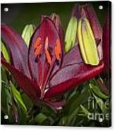 Red Lily 6 Acrylic Print