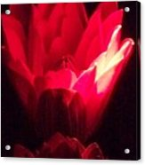 Red Lily At Night Acrylic Print