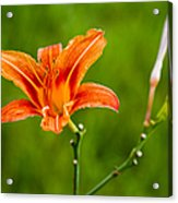 Red Lily - Featured 3 Acrylic Print