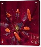 Red Lily Macro Acrylic Print
