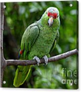 Red-lored Parrot On Branch Acrylic Print