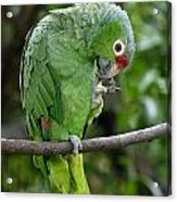 Red-lored Parrot Acrylic Print