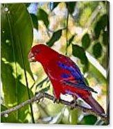 Red Lory Acrylic Print