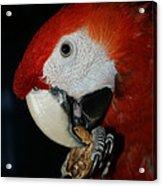 Red Macaw Acrylic Print