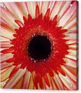 Red  Macro Daisy  Acrylic Print