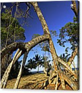Red Mangrove Aerial Roots Acrylic Print