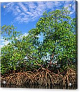 Red Mangrove East Coast Brazil Acrylic Print by Pete Oxford