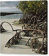 Red Mangrove Root Galapagos Islands Acrylic Print