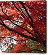 Red Maple 01 Acrylic Print