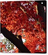 Red Maple 02 Acrylic Print