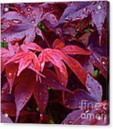 Red Maple After Rain Acrylic Print