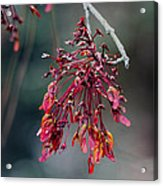 Red Maple Flowers Acrylic Print