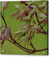 Red Maple Acrylic Print