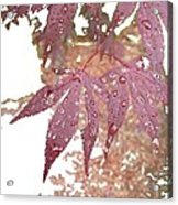 Red Maple Kissed By Water Acrylic Print