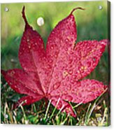 Red Maple Leaf And Dew Acrylic Print