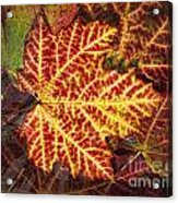 Red Maple Leaf Acrylic Print