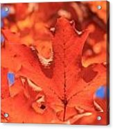 Peak Color Maple Leaves Acrylic Print