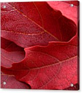 Red Maple Leaves Acrylic Print by Jennie Marie Schell