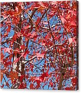 Red Maple Leaves  Acrylic Print