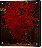 Red Maple Tree Too Acrylic Print