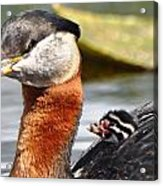 Red-necked Grebe And Chick Acrylic Print