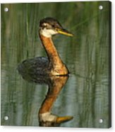 Red-necked Grebe Acrylic Print
