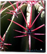 Red Needles On Barrel Cactus Acrylic Print