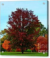 Red Oak In Loose Park Acrylic Print