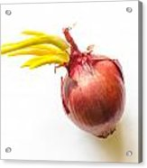Red Onion With Sprout Acrylic Print
