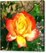 Red Orange And Yellow Rose Acrylic Print