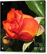 red orange Baby Rose Acrylic Print