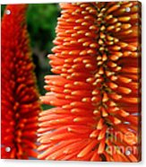 Red-orange Flower Of Eremurus Ruiter-hybride Acrylic Print
