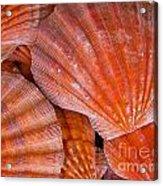 Red Orange Sea Shells Acrylic Print