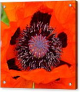 Red Oriental Poppy Acrylic Print