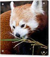 Red Panda  Ailurus Fulgens In Captivity Acrylic Print