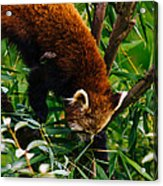 Red Panda Tree Climb Acrylic Print