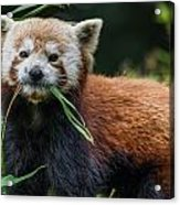Red Panda With An Attitude Acrylic Print