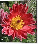 Red Pasque Flower Acrylic Print