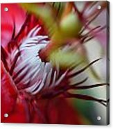 Red Passion Flower Stamens Acrylic Print