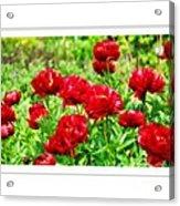 Red Peonis Acrylic Print