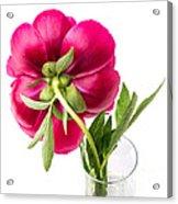 Red Peony Flower Back Acrylic Print