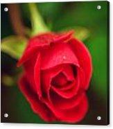 Red Petals  Acrylic Print
