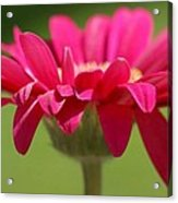 Red Pink Daisy Acrylic Print